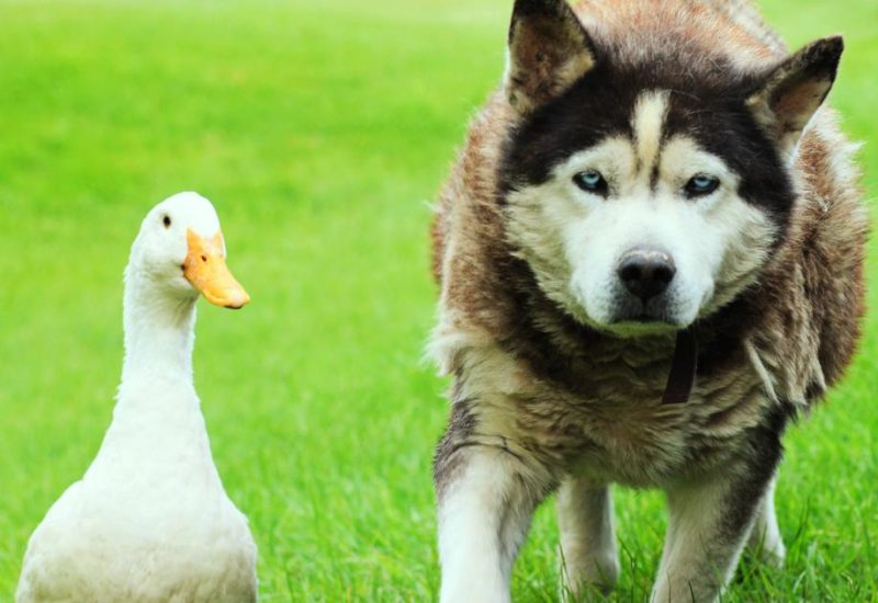 The inhabitants of a small town Strout are amazed by the unlikely friendship between a dog Sasha and a duck Quackers