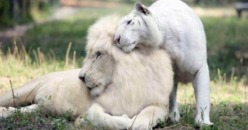 Meet these beauties of the wild nature four adorable ligers cubs of white lion and white tiger