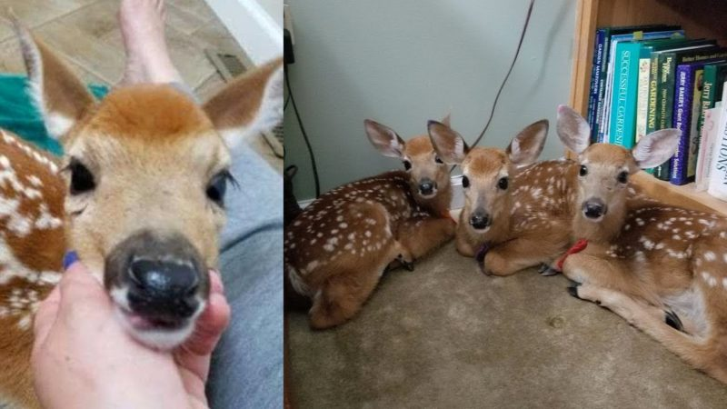 Woman finds three adorable deer in her living room after she leaves back door open during storm