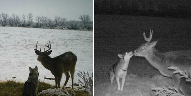 Lost dog was caught on camera spending a couple days with her buck friend in the woods