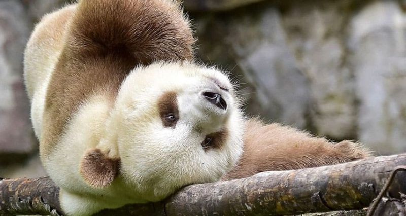 The only white and brown panda in the world, who was abandoned as a baby, has finally found happiness.