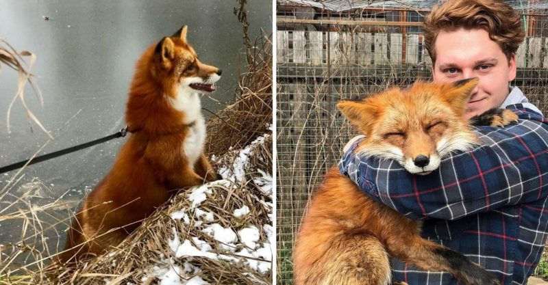 Wild fox was rescued by a kind man from a fur farm and they became inseparable friends