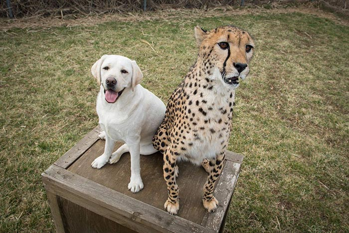 Cheetahs are incredibly shy animals with serious social problems, so they need cheerful dogs as companions