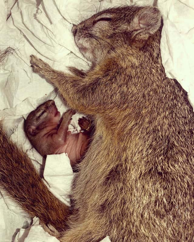 Rescued and released to the wild squirrel returned to her savior's house and made a nest for her future baby in a drawer