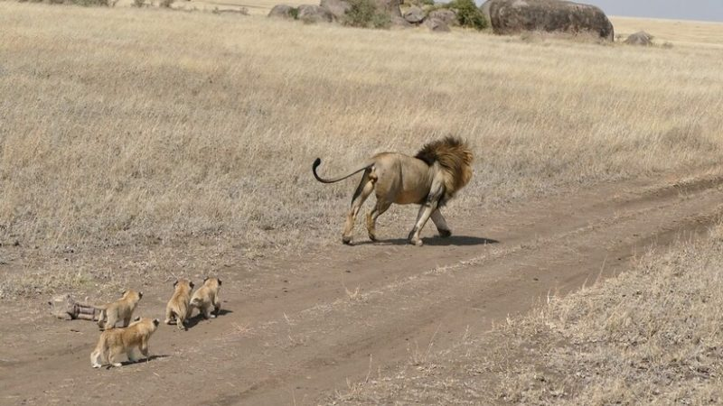 Tired lion dad tries to escape from his four little cubs to have some alone time, but the kids stubbornly chase him