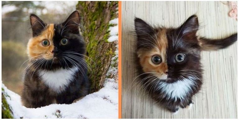 A miracle of nature, a two-faced cat named Yana with a unique coloring wins the hearts of netizens