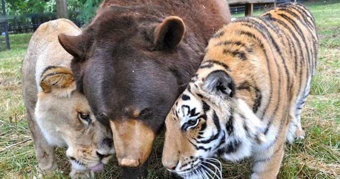 Three rescued friends, a black bear, an African lion and a Bengal tiger have been inseparable for over 15 years