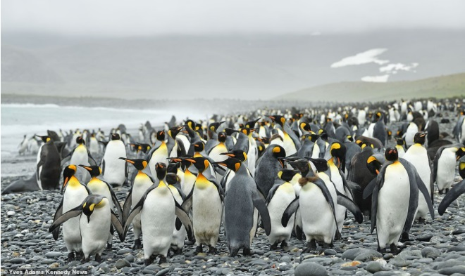 Belgian photographer was lucky to meet an extremely rare yellow penguin for the first time in history