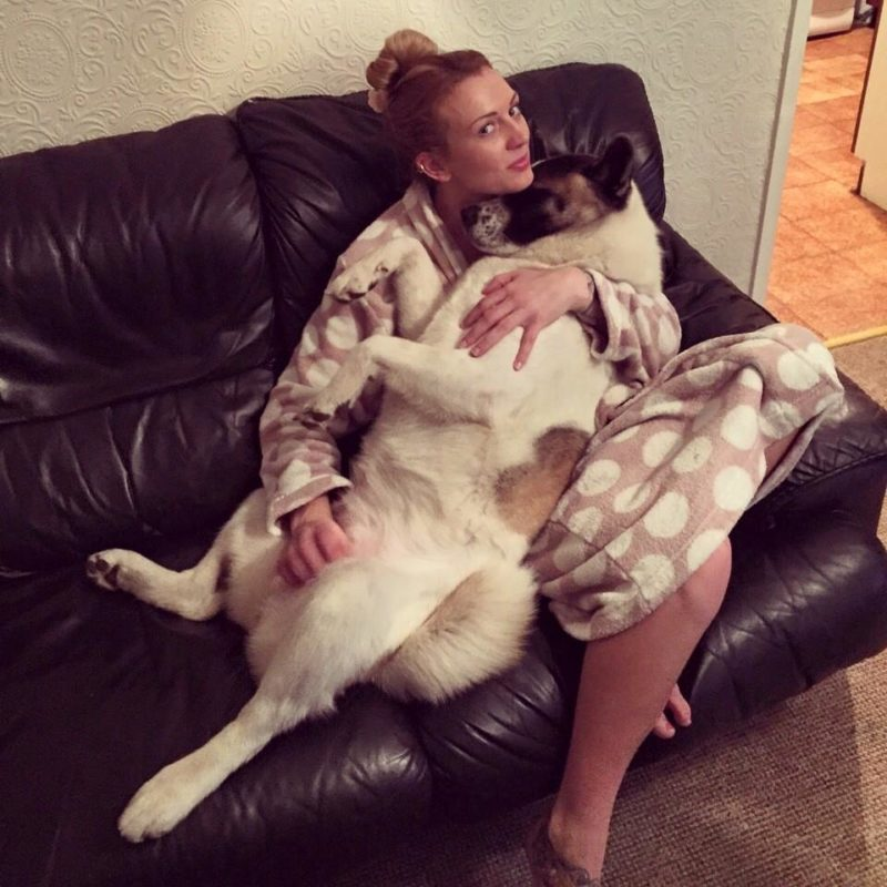 A caring American Akita sensed that something is wrong with her pregnant human, even when the doctors said otherwise
